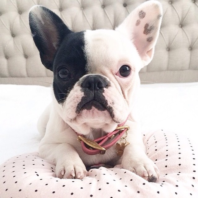 miss-olive-the-frenchie
