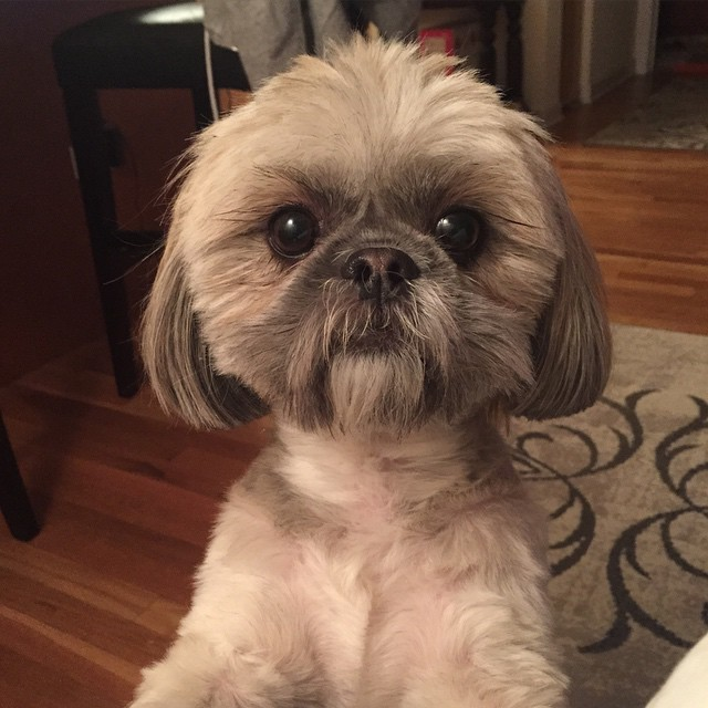 12 Hottest Shih Tzus The Bachelors