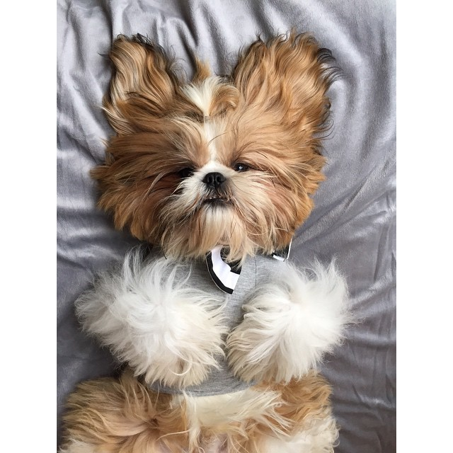 ralphy_the_shihtzu