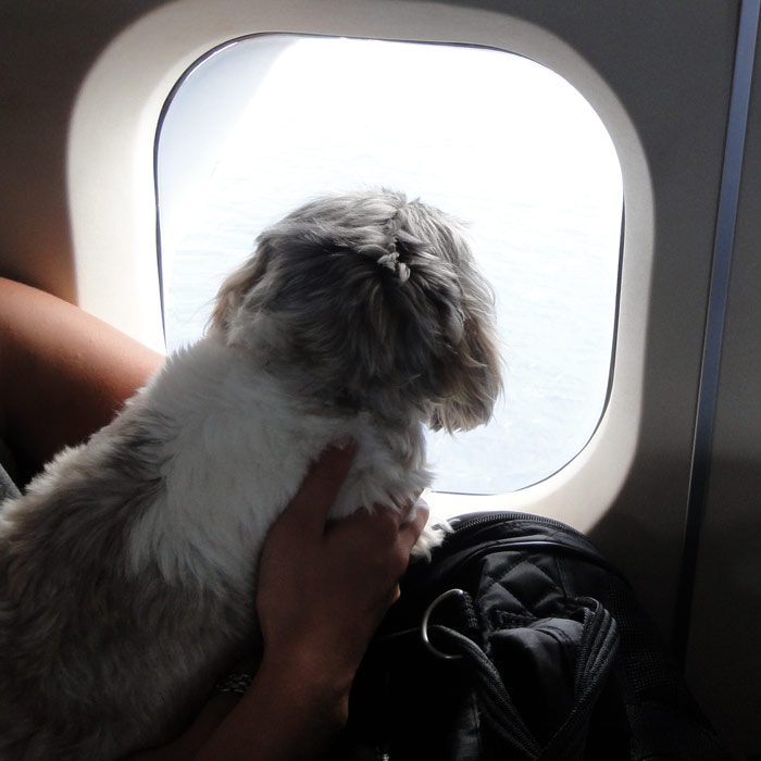 Shih Tzu on the Plane